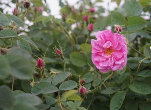 屹泽蓬秀玫瑰花