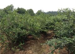 屹泽蓬秀-蓝莓盆景